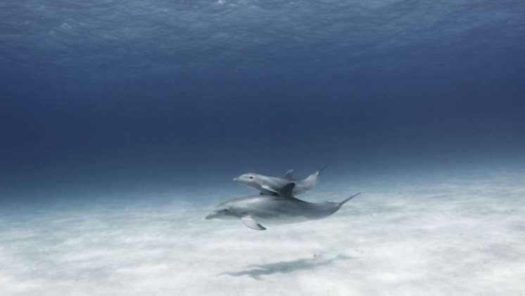Las madres delfín cantan a sus crías antes de nacer
