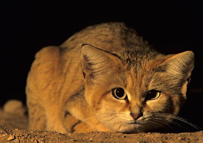 Luego de diez años sin mostrarse, por fin captan al 'gato de las arenas' en el desierto de Abu Dhabi