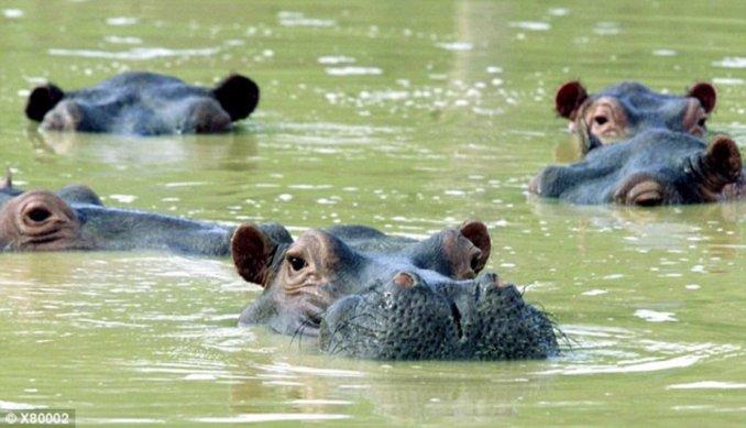 (Video) Hipopótamos de Pablo Escobar escapan y deambulan agresivos por campos colombianos