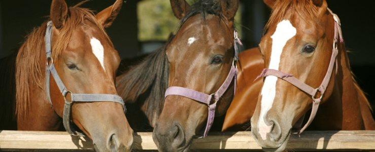 Estudio muestra cómo los caballos aprenden a comunicarse con los humanos