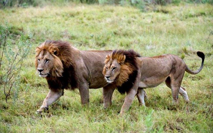Publican primer estudio sobre las leonas con melena de Botswana