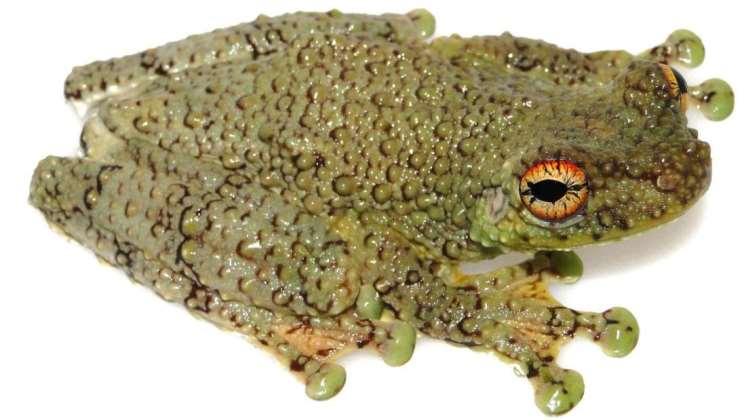 """Buscando el mito de la """"serpiente cantora"""" del Amazonas, descubrieron una nueva especie de rana"""