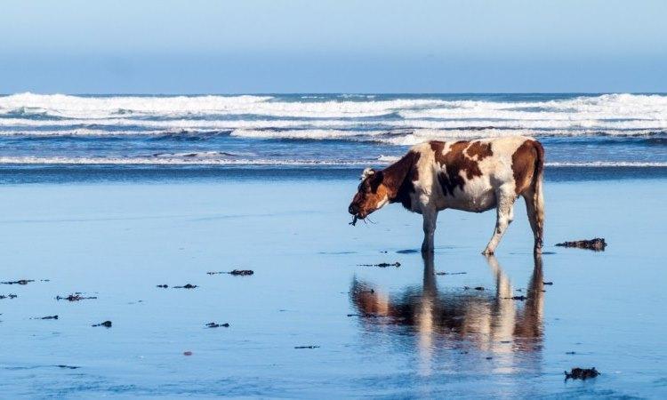 Las algas marinas pueden ser la clave alimenticia para un ganado más feliz y menos contaminante