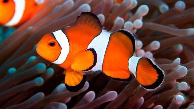 Científicos identifican el mecanismo biológico del cambio se sexo en el pez payaso
