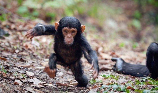 Investigación encubierta revela el alcance y la gravedad del tráfico de bebés chimpancé