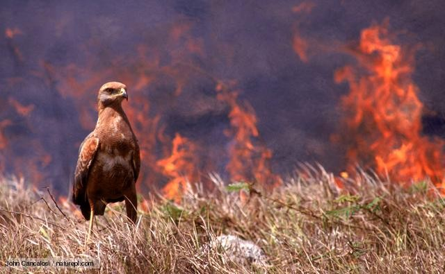 Incendios: Codeff llama a apoyar la recuperación de la fauna silvestre