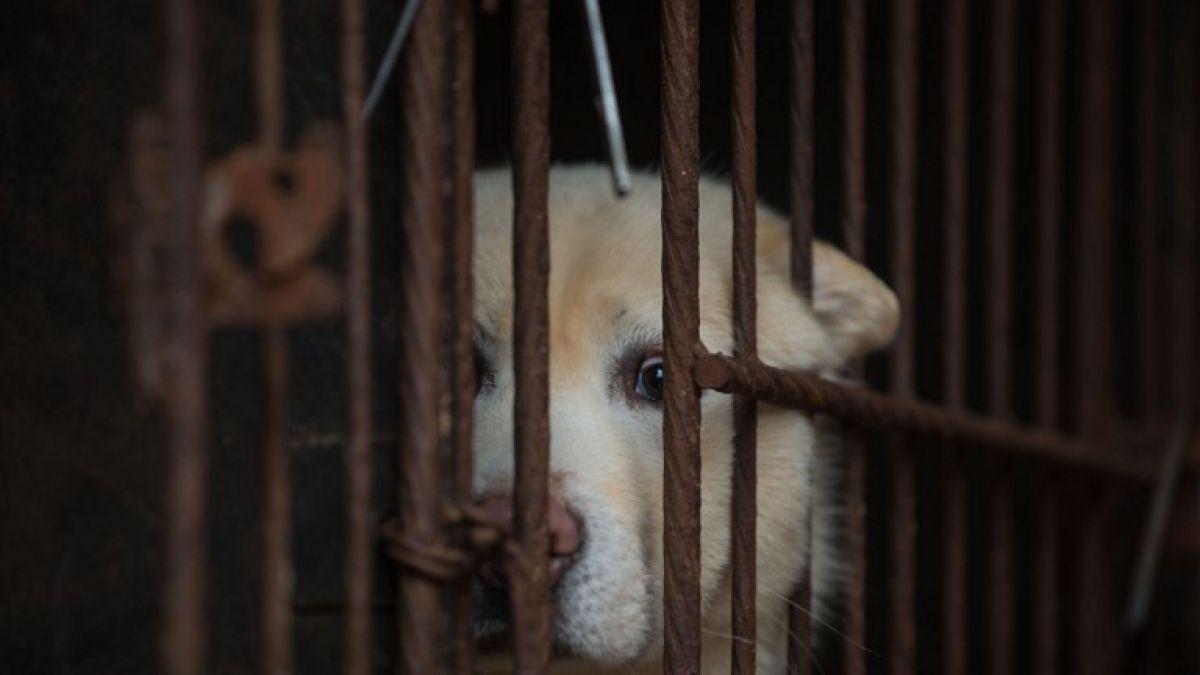 Corea del Sur: Protectora de animales rescata a 46 perros listos para ser comidos