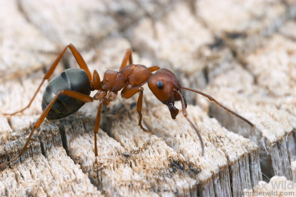 Las hormigas elaboran su propio antibiótico mezclando dos sustancias diferentes