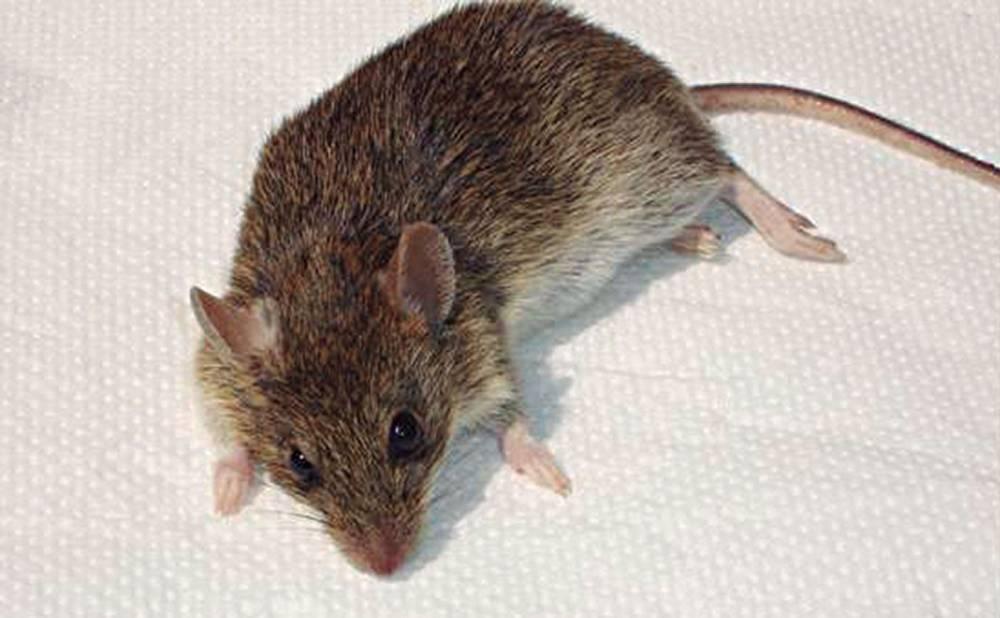 Plaga de ratones obliga a suspender clases en escuela de Frutillar