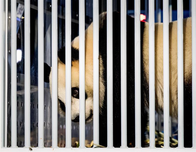 Dos osos panda llegan desde China a un zoo de Holanda