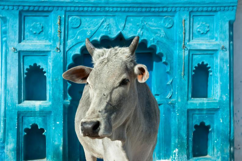 Gobierno indio estudia crear refugios para vacas abandonadas
