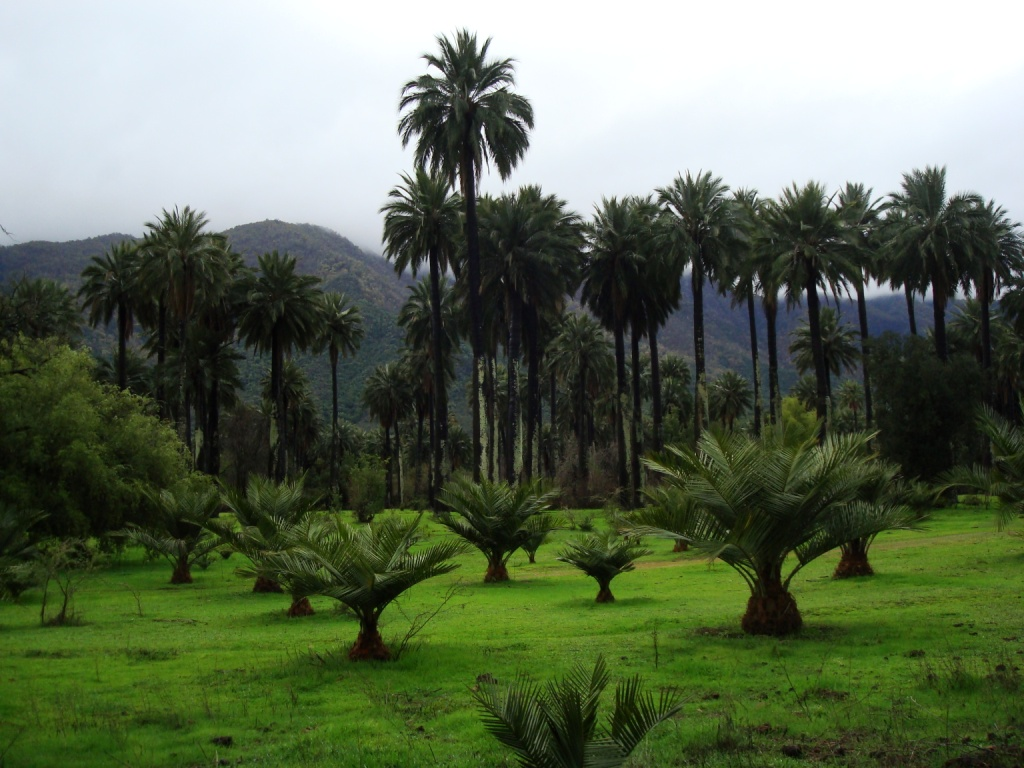 Informan a vecinos de Hijuelas sobre la prohibición de extraer cocos de Palma Chilena