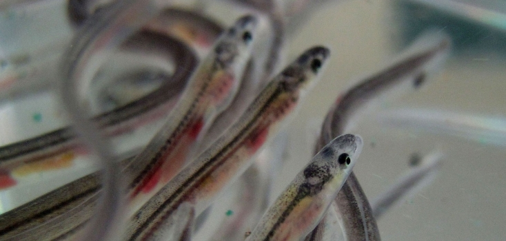Las anguilas bebé también viajan siguiendo las líneas magnéticas