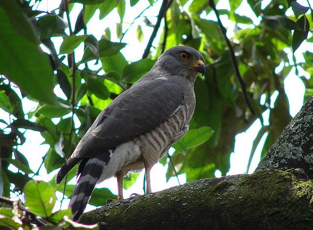 Las aves, nuevas víctimas de las balas perdidas en Río de Janeiro