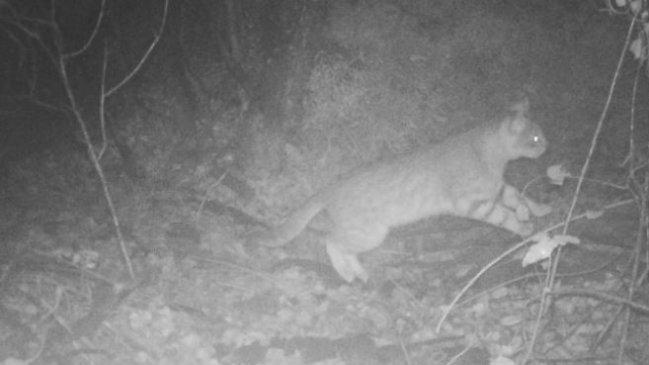 Fotografían por primera vez a un gato colo-colo en el Parque Nacional La Campana