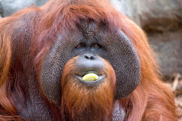 Muere orangután de 39 años que se comunicaba mediante el lenguaje de señas