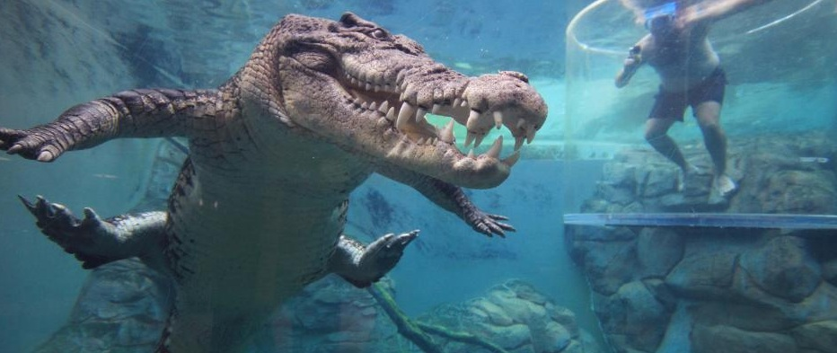 Turistas nadan cara a cara con inmensos cocodrilos de 5 metros en Australia, las imágenes son impresionantes