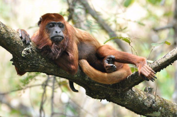 Un tipo de malaria se está transmitiendo de los 'monos aulladores' a los humanos
