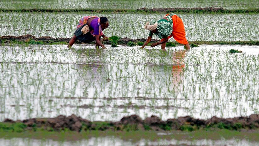 Este nuevo tipo de arroz podría alimentar a 200 millones de personas más en China