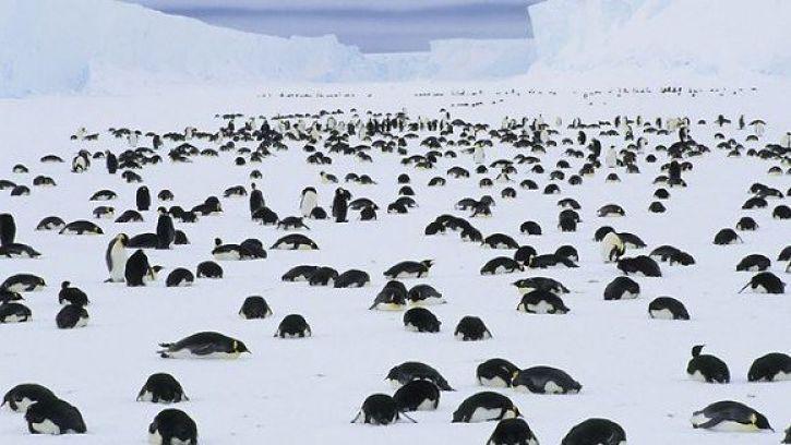 Muerte de miles pingüinos en Magallanes: fallecieron de hambre, pero sería un fenómeno natural