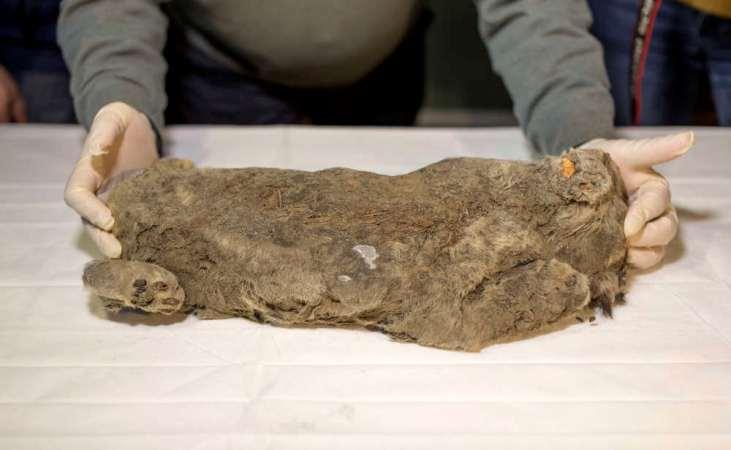 Rusia: Hallan milenaria cría de león cavernario en perfecto estado de preservación