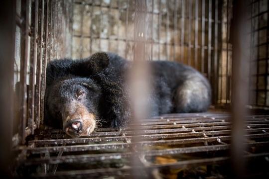 Por fin camina libre la osa Hai Chan; rescatada de un cruel cautiverio donde incluso le amputaron las patas