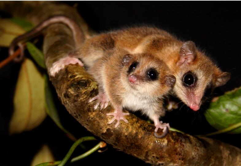 Científicos de Valdivia estudian al «monito del monte» el único mamífero hibernante conocido en América del Sur