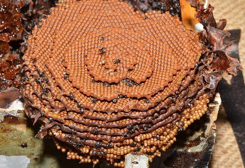 IMPRESIONANTE: Abejas australianas crean extraños pero bellos nidos