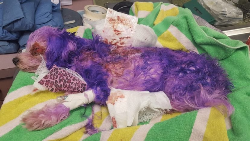 Estuvo a punto de matar a su perro luego de teñirlo con tinte para cabello humano