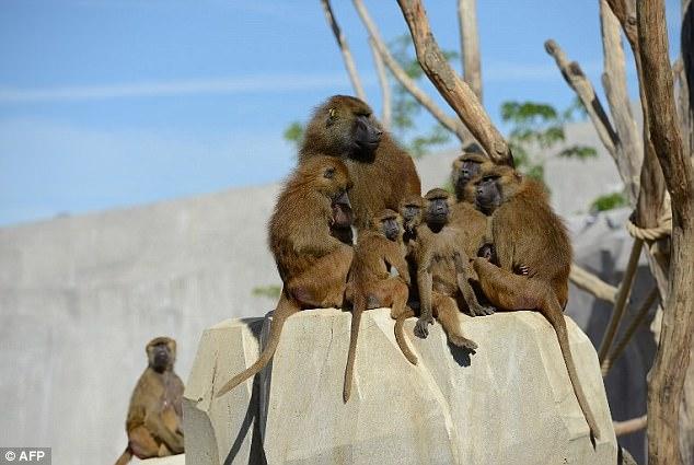 Un zoológico de París fue evacuado luego de que 52 mandriles escaparan de su recinto