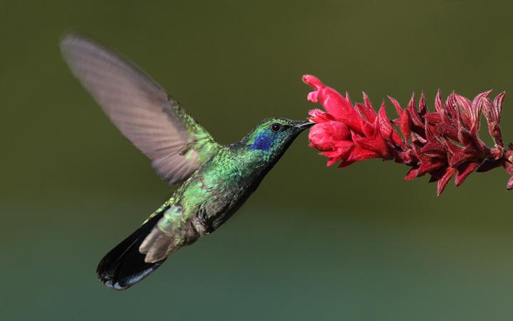Libro analiza la biodiversidad de polinizadores en Chile, Paraguay y Perú: Colibríes, moscas, abejorros, mariposas y murciélagos son aliados de la agricultura
