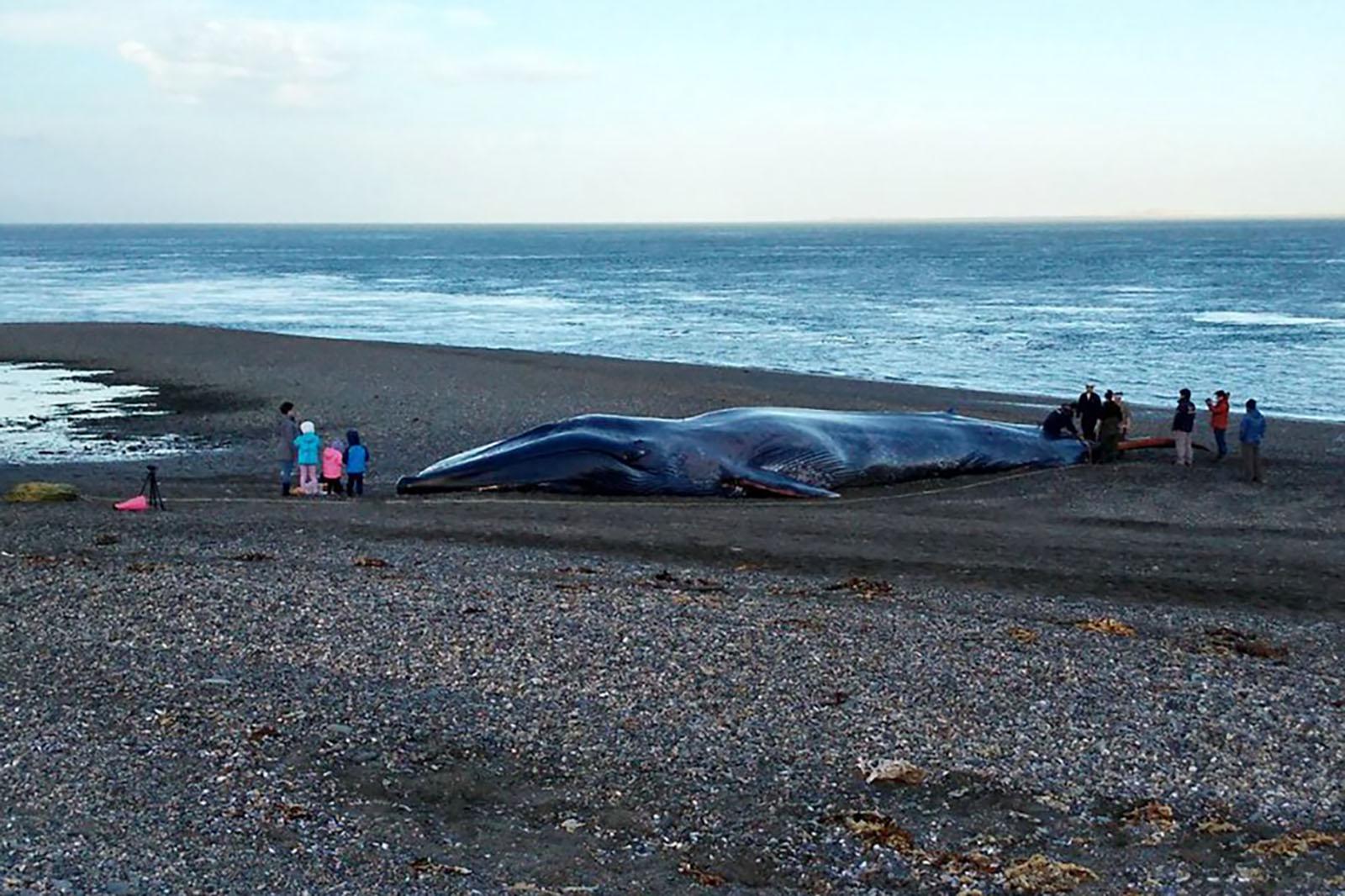 """Greenpeace por marcas hechas a ballena azul varada en Punta Arenas: """"Es un acto insensible y repudiable"""""""