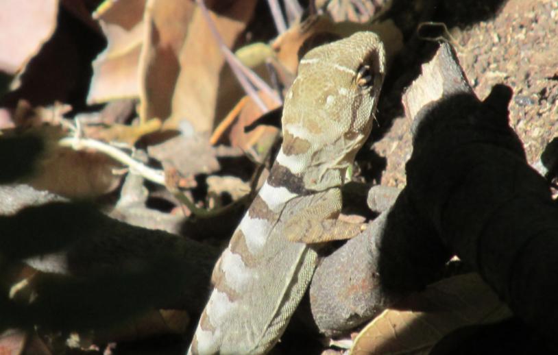 Confirman presencia de lagarto en peligro de extinción en reserva nacional Río Clarillo