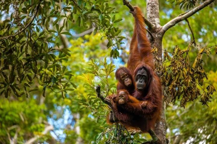Borneo perdió a más de 100.000 orangutanes entre 1999 y 2015