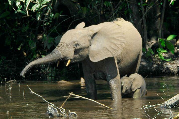Investigadores confirman que en realidad hay tres especies de elefantes