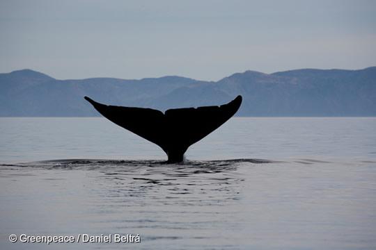 Greenpeace denuncia que agua de buques salmoneros cargadas de marea roja están siendo vertidas en hábitat clave de las ballenas azules