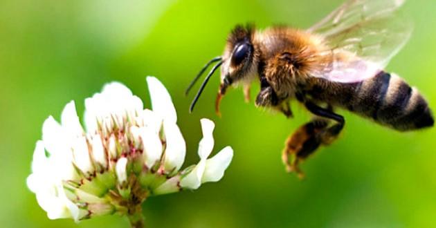 Industria del azúcar la enemiga de las abejas