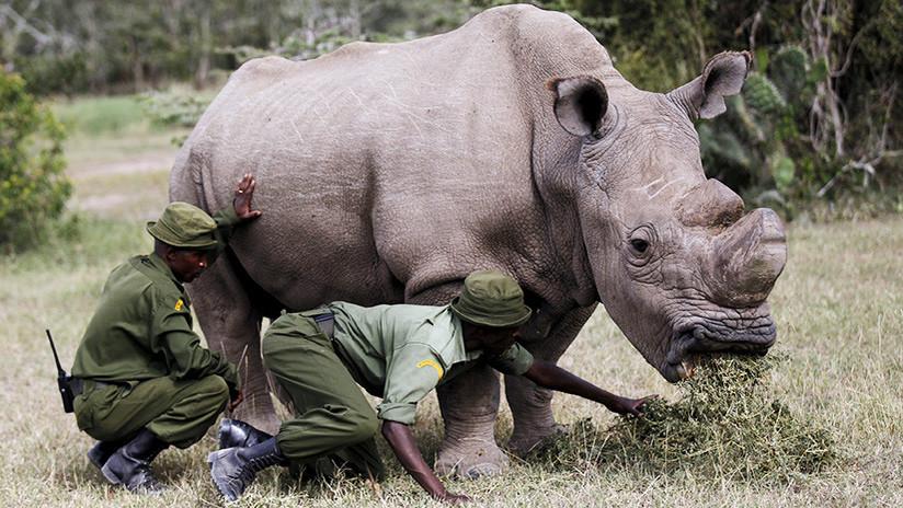 Una nueva extinción animal: muere el último rinoceronte blanco del norte macho