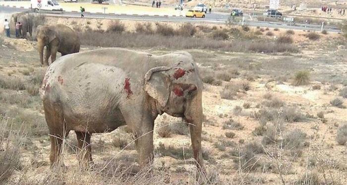 Accidente de un camión de circo ocasiona la muerte de un elefante en España (+video)