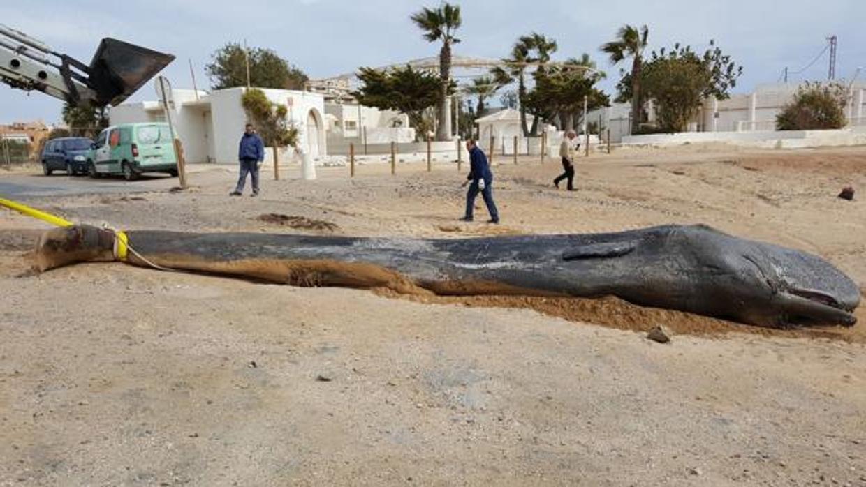 Una peritonitis mató al cachalote encontrado cerca de Cabo de Palos