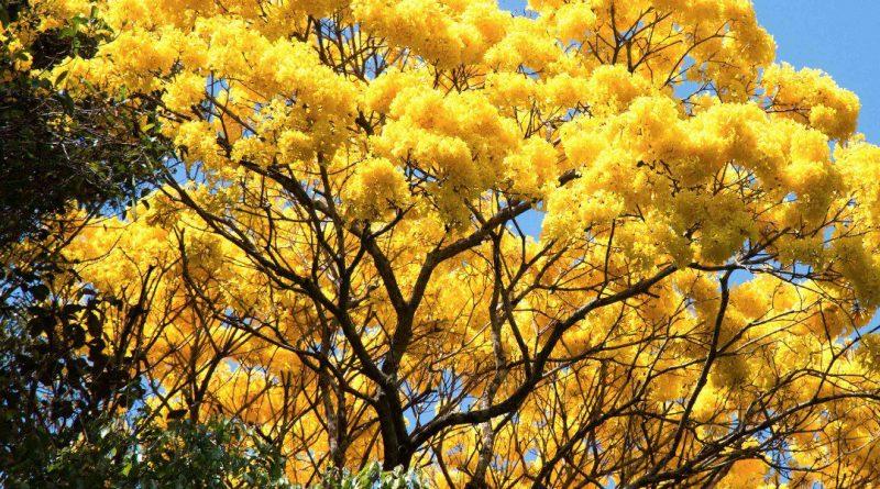 Hace 70 años se declaró al Araguaney como árbol de Venezuela