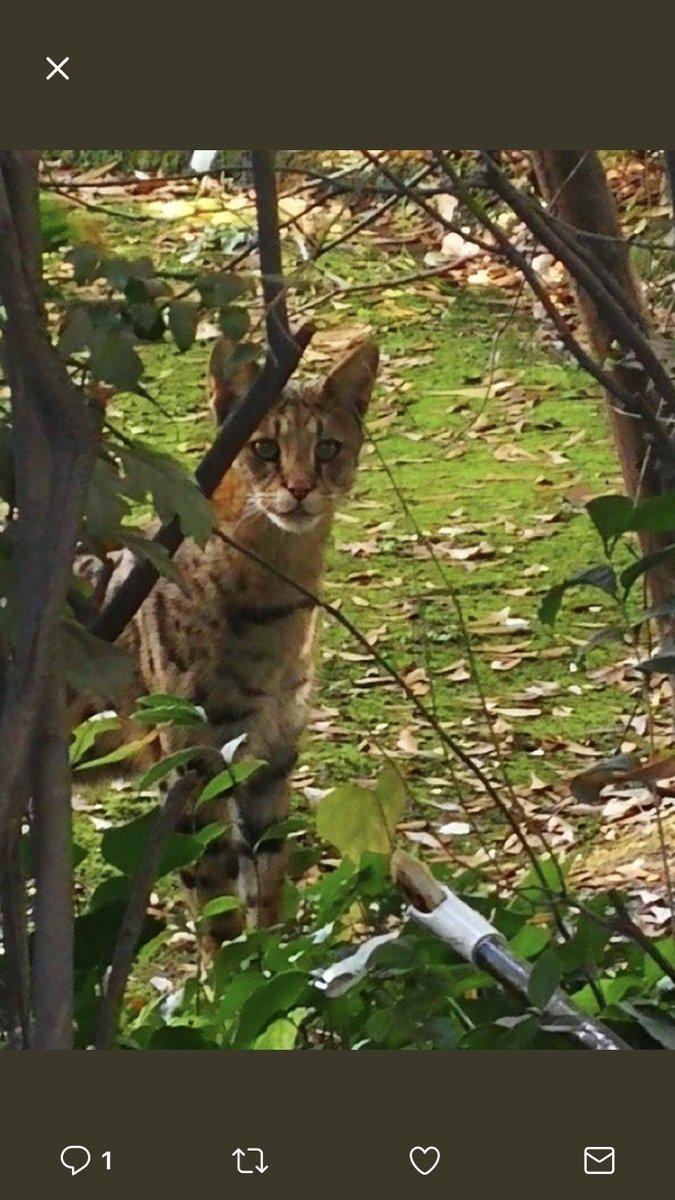 Gato africano suelto en Las Condes: Especialistas advierten irresponsabilidad del dueño y critican al SAG