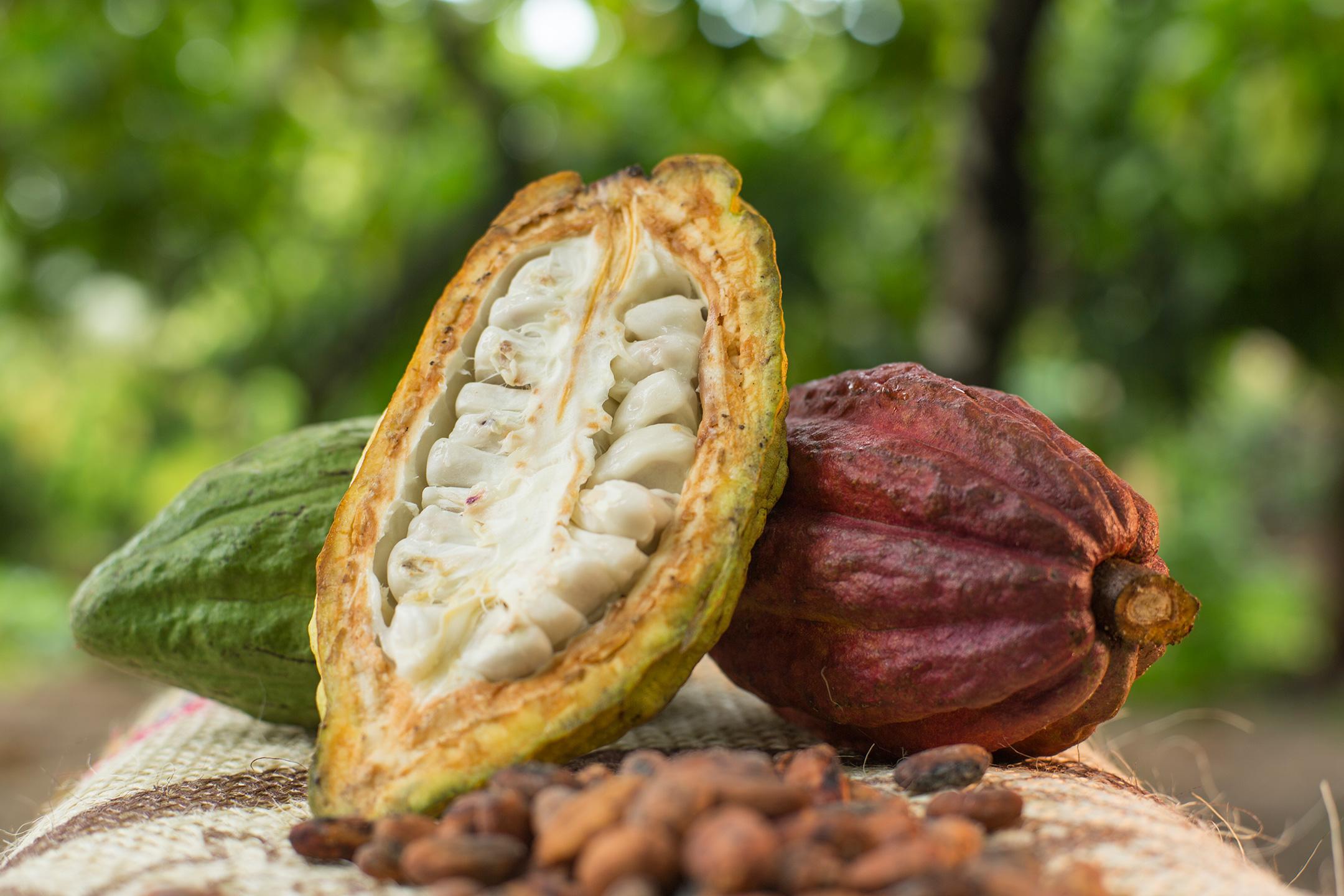 Venezuela incrementará la fruta tropical con que se produce el chocolate