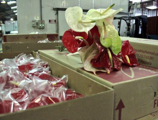 Venezuela exportó flores anturio a mercados norteamericanos y caribeños