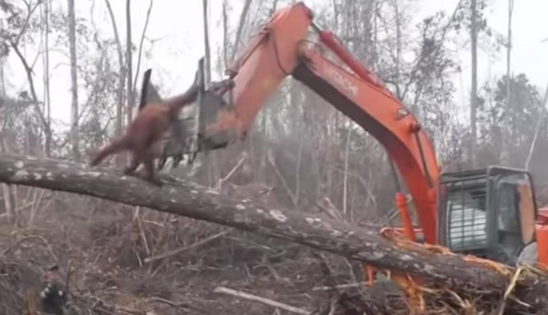 Orangután enfrenta a una excavadora que amenaza su hábitat (+Video)