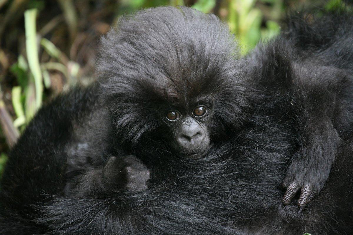 Crece la población de gorilas de montañas, una especie en peligro de extinción