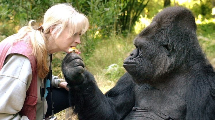 Ha muerto Koko, la gorila que hablaba en lenguaje de señas y amaba a los gatitos