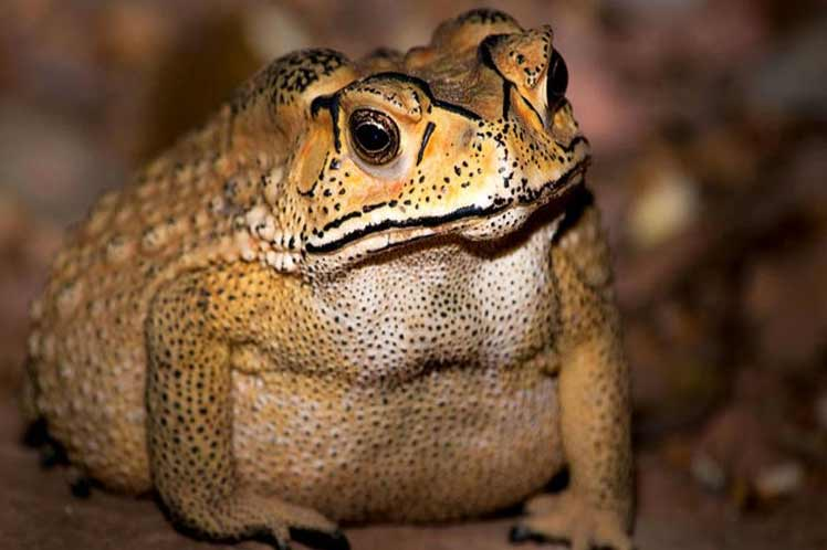 Sapo chino se ha convertido en un arma letal para otros animales en Madagascar