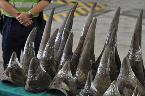 Autoridades de Vietnam arrestan a contrabandista con 12 cuernos de rinoceronte