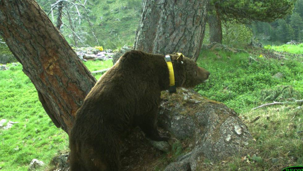 El oso Goiat a punto de ser expulsado de los Pirineos (+VIDEO)